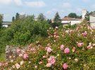 Rosen im Mai